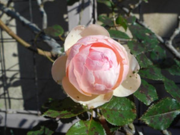 寒風に咲くアリスの庭のバラ 今年最後のピエールドロンサール他