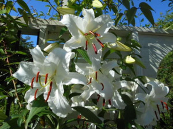 涼しい国のアリスより 今日のアリスガーデン カサブランカが咲き始めました。