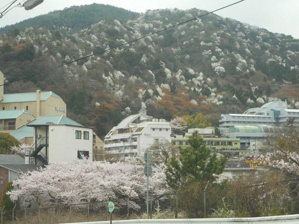 有馬温泉は、こぶしと桜の共演。アリスの山桜も開花です。昨年より1週間も早い