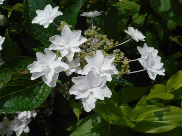梅雨があけましたね。アリスのガーデンは、アジサイとカサブランカ、フロックスが盛りです。