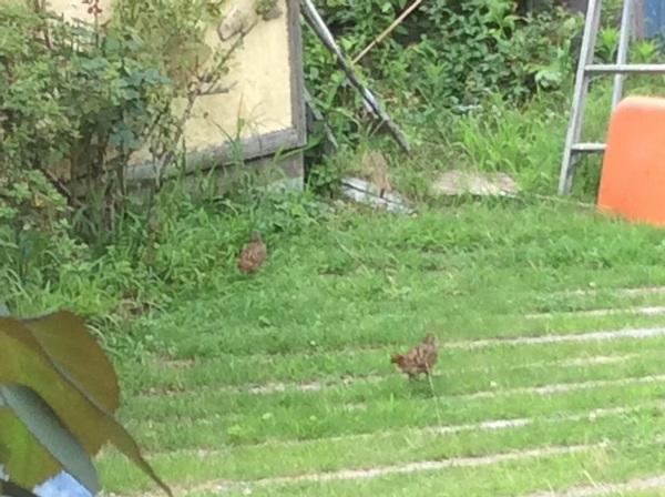 キジの子が庭に!