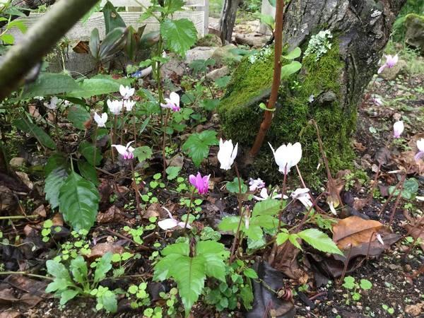原種のシクラメン咲き始めました。