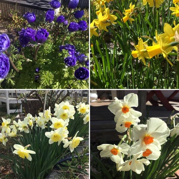 お目覚め前のアネモネと水仙たち。暦は、春分 次候 桜始開。