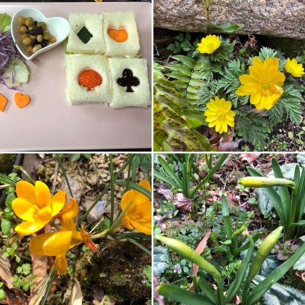 アフタヌーンティーのバージョンアップ中❣️福寿草、クロッカス咲き、ミニ水仙ティタティタがもうすぐ咲くよ❤️