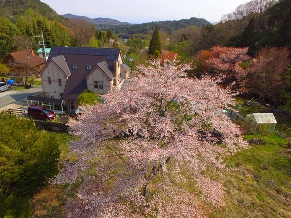 上空から見るアリスのシンボル山桜🌸お誕生日サプライズ🎉羅生門カズラの花が咲いたよ。😊