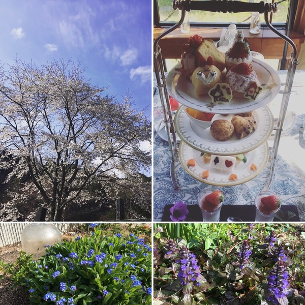 昨日は、早速不思議の国のアリスのストロベリーアフタヌーンティーのお客さま❣️アリスのシンボル山桜が満開です。🌸