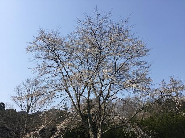 桜、桃咲き、ウグイスなく春のアリスのひと時を❣️ &バラの株元の防草シート実験開始