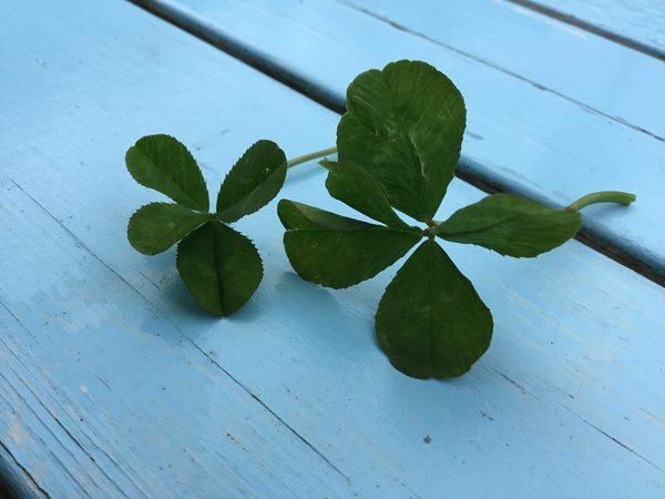 🌸アリスのお花見はまだまだ続きます。🌸🍀今日は五つ葉のクローバーを発見☘️財運来たる😊