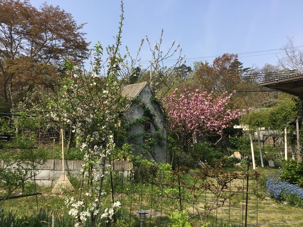 八重桜🌸姫リンゴ🍎が満開❣️さくらんぼ🍒も咲き始めました。🌱ホージーバジルの芽も出てきました。