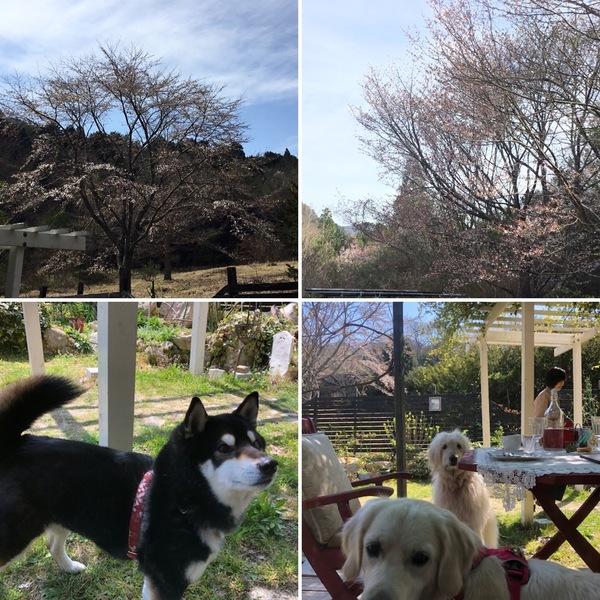 アリスの山桜は2分咲き🌸 テラス席はわんこの季節🐶
