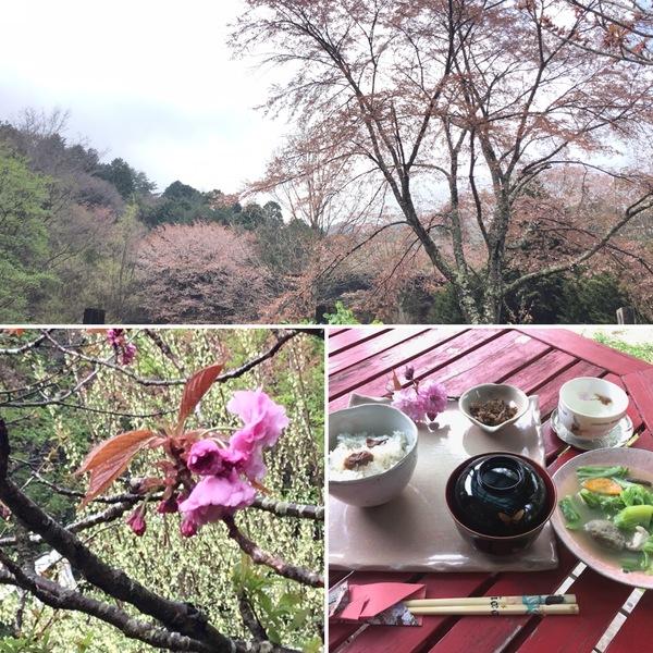 八重桜が咲き始め🌸 桜ご飯の香りを楽しんでくださいね。🌸🍚