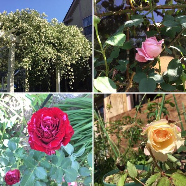 モッコウバラは満開❣️マダム カロリーヌ テスツゥー、チーク、ひさみ咲く💖
