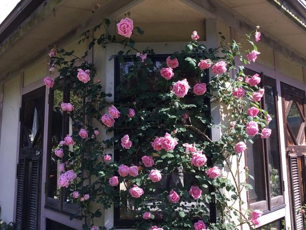 今日も五月晴れの朝😊バラ香る不思議の国の花園へ迷い込んでくださいね。🌹