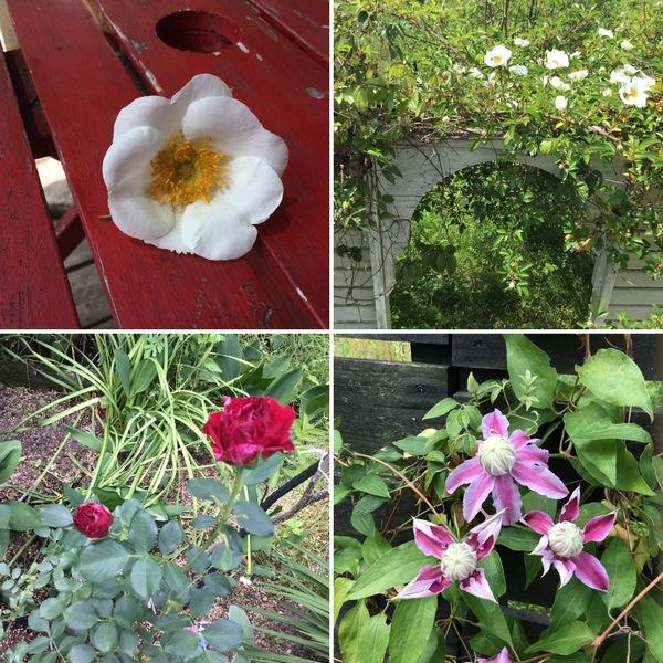 モッコウバラとナニワイバラが満開❣️❣️ 今年新人のバラ チークが咲き始めました。😊