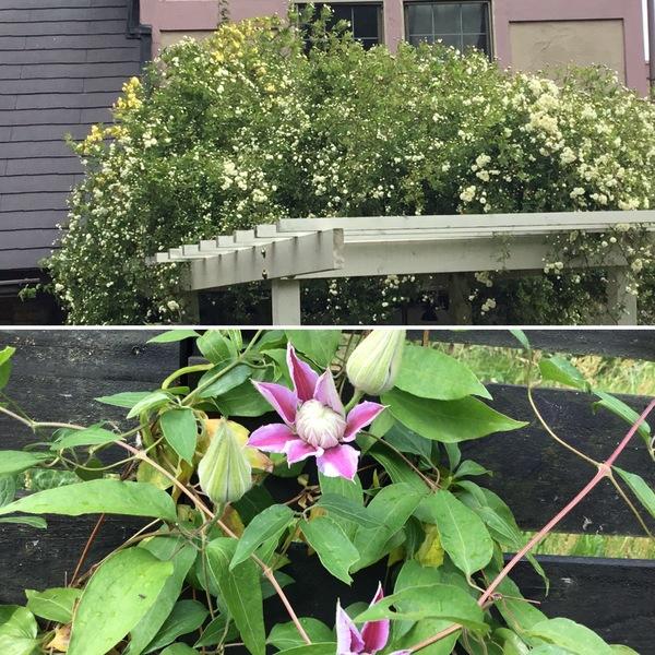 モッコウバラは第二幕❣️良い香りです。 クレマチスのジョセフィーヌも開花です。