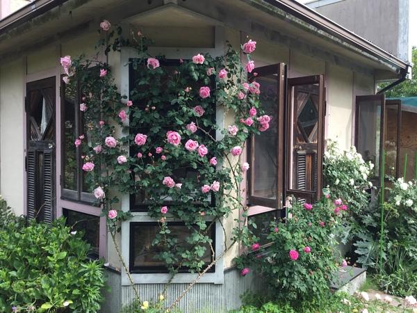 バラ咲くアリスガーデン🌹今日は定休日🚫明日からのご予約お待ちしております。