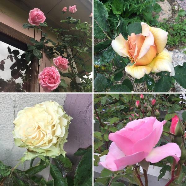 今日もバラが咲き始めています。バラの香りに誘われてくださいね。