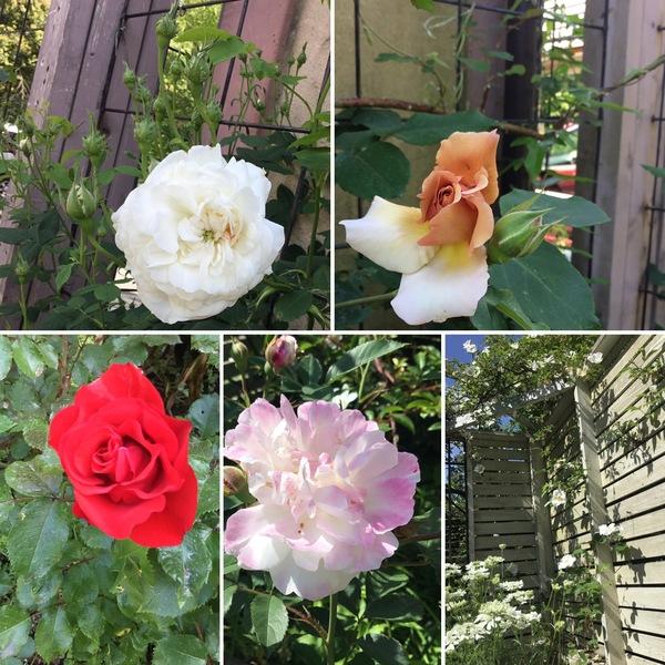 今日もバラの開花が進んでいます。五月晴れのテラスで、バラを眺めておくつろぎくだいね。
