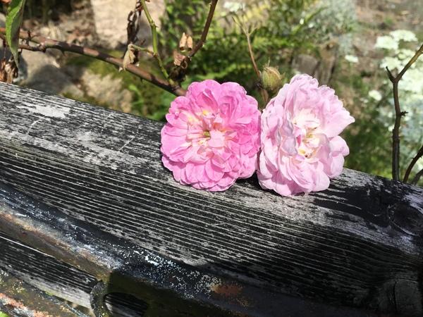 今日も新しくバラが開花中🌹不思議の国のアフタヌーンも好評😊薔薇咲く不思議の国の花園へお立ち寄り下さいね。❣️