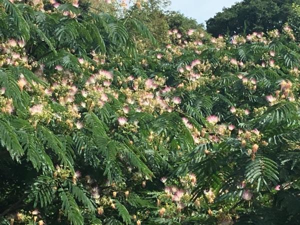 合歓の木の花の甘い香りが漂う不思議の国の花園へ迷い込んでくださいね。❣️