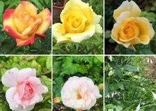 早朝の豪雨の後の雨あがり、可愛いバラと色んな花咲く不思議の国の花園へ迷い込んでくださいね。