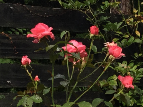 雨あがり❣️バラもアジサイも咲く不思議の国の花園へ迷い込んでくださいね。😊