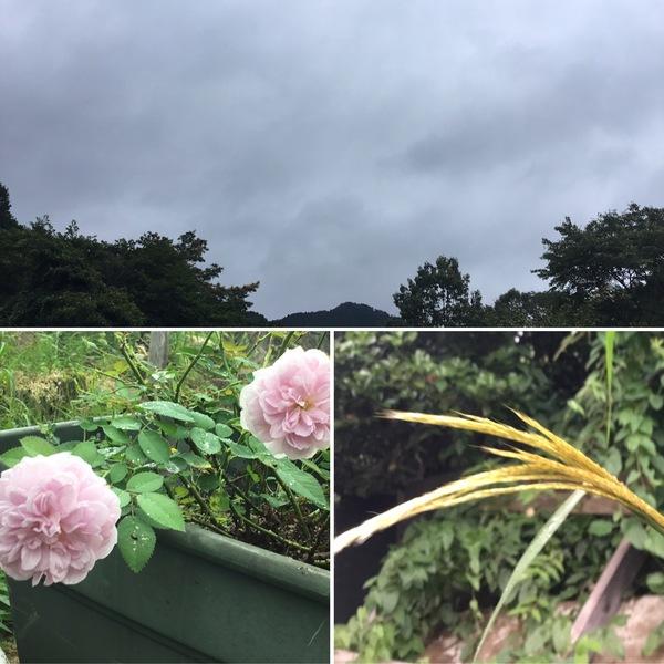今日は久々の曇り空☁️ 百合は満開、ススキが穂をもたげる不思議の国の花園へ迷い込んでくださいね。