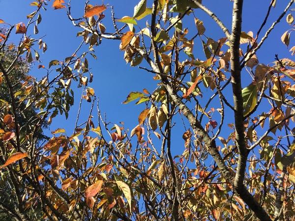 青空に映える八重桜の紅葉🍁今日は火曜日 アリスは定休日です。