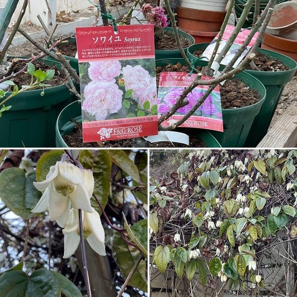 昨日は、鉢バラの鉢増し&植え替え❣️今、冬咲きのクレマチスのウィンターベル🔔が満開です。🥰