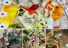 春を告げる野草のヒメオドリコソウ&オオイノフグリが咲き、鉢バラの植え替え中。かわいいケーキでお誕生日お祝いくださいね。