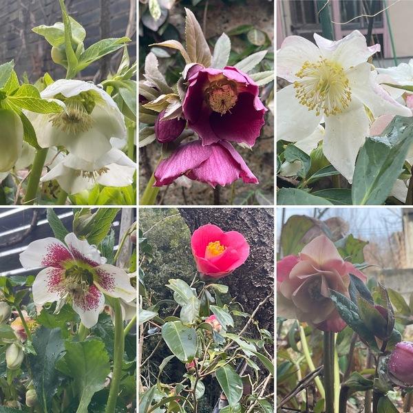 いろんなクリスマスローズが咲く、早春の不思議の国の花園に迷い込んでくださいね。