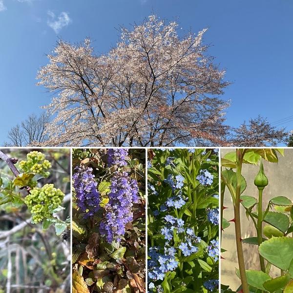 満開のアリスのシンボル桜🌸花山椒も摘みごろに❣️バラも成長中🌹今年の春は本当に早いね。🥰