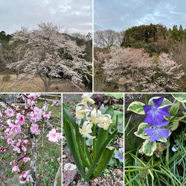 アリスの桜は今が見ごろです。🌸色んな花咲く不思議の国の花園に迷い込んでくださいね。