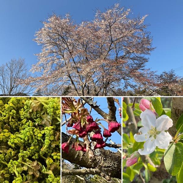 アリスのシンボル桜は満開🌸🌸姫リンゴや八重桜も咲き始めました。そして花山椒摘みがスタート❣️