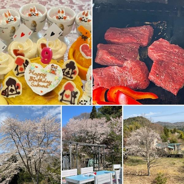 春休み❣️ご家族でお誕生日会やBBQで賑わった昨日のアリス。今、満開の桜🌸🌸🌸に囲まれていますよ。🥰