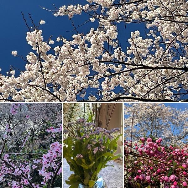 桜🌸満開の春の不思議の国のひと時をお楽しみくださいね。