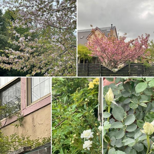モッコウバラが咲き始め、不思議の国は、桜からバラに主役交代です。