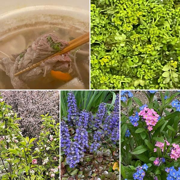 春のアリスの森の恵みー花山椒でしゃぶしゃぶ❤️遅咲きの桜と姫リンゴの花がデュエットを奏でています。