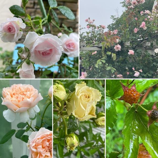木いちごが実り出した雨の中でも元気に咲く不思議の国の薔薇の花園に迷い込んでくださいね。