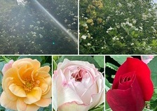 光注がれるモッコウバラ香る不思議の国の花園のひと時をお楽しみくださいね。今日のアリスは定休日です。