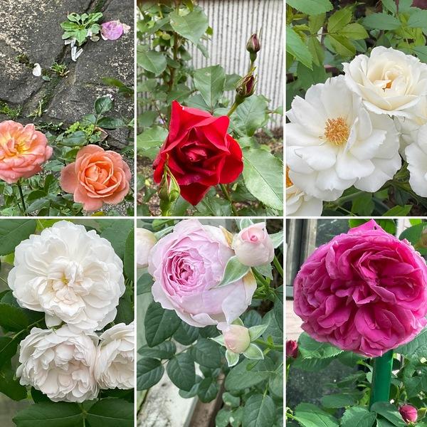 今日は、久々の青空😊今日も薔薇🌹香る不思議の国の花園に迷い込んでくださいね。🥰