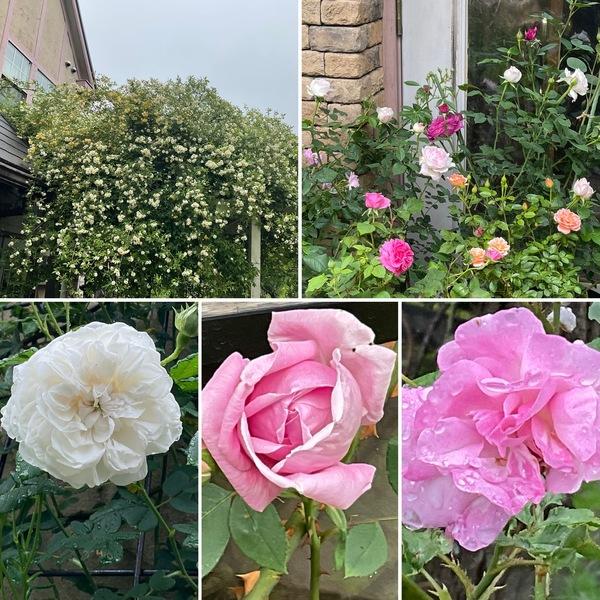 今年は3週間も早い梅雨入り☔️それでも元気よく咲き出した不思議の国のバラ🌹の花園に迷い込んでくださいね。