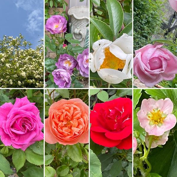 青空に映えるモッコウバラ咲く不思議の国の花園💐次々とバラの開花が始まっています。
