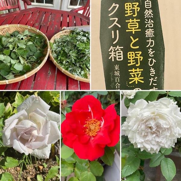 やっかいな雑草が薬に変身👨🔬💊今日も薔薇香る不思議の国の花園に迷い込んでくださいね。🥰