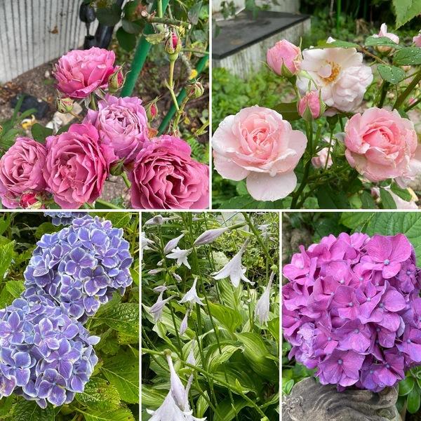 梅雨空に咲くバラとアジサイとギボウシ。今日のアリスは定休日です。