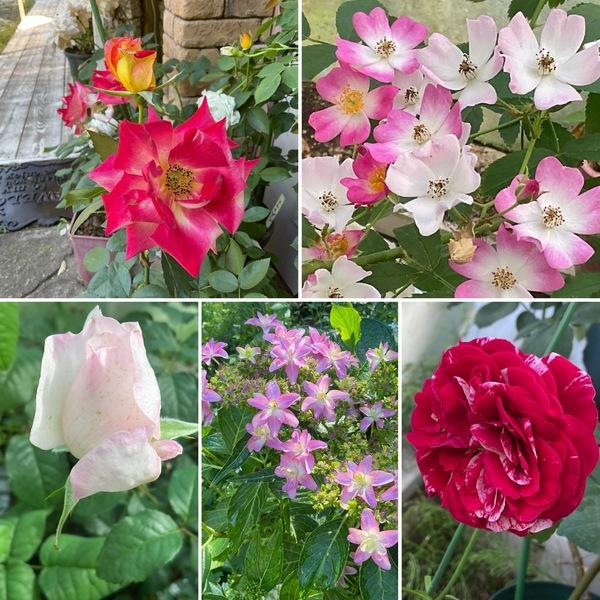庭仕事の助っ人電動噴霧器登場!バラもアジサイも咲く不思議の国の花園の迷い込んでくださいね。