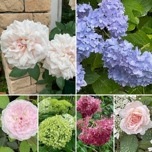 梅雨空で本領発揮のアジサイと薔薇香る不思議の国の花園に迷い込んでくださいね。
