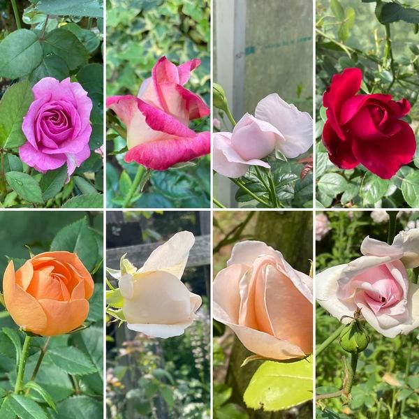 夏バラのかわいい蕾が開いた不思議の国の花園に迷い込んでくださいね。