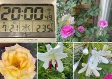 涼しい国のアリスで、夕涼み🎐🍻はいかが⁉️ カサブランカも咲き出した不思議の国の花園に迷い込んでくださいね。🥰