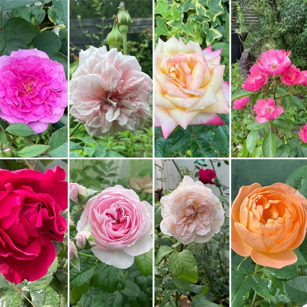 昨日は、一緒に子育てを共にしたご夫妻と午後のティータイム🍰☕️1日で全開の夏バラ咲く不思議の国の花園に迷い込んでくださいね。